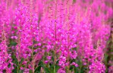 Полезные свойства растения иван-чай