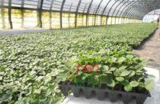 Кассетная рассада клубники: как выращивать и ухаживать